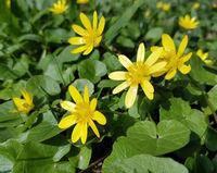Scharbockskraut, Ranunculus, ficaria