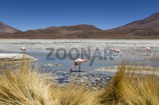Andenflamingos, Laguna Hedionda Bolivien