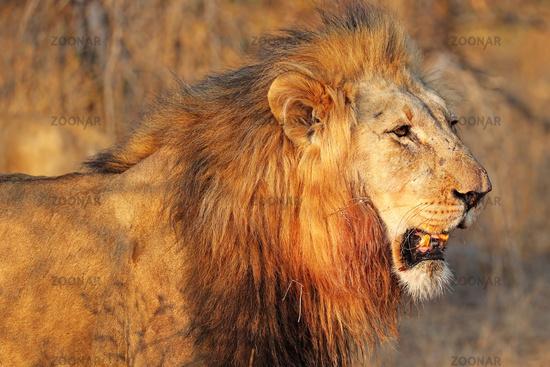 Löwe im warmen Nachmittagslicht, Südafrika, lion in the warm light of the day, South Africa