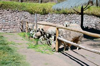 Peruvian mountain lamas