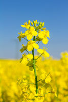 Close-up of yellow rapeseed in springtime on a sunny day