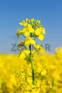 Detailaufnahme gelber Blüten im Rapsfeld im Frühling mit blauem Himmel an einem sonnigen Tag