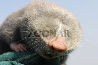 close up of lesser mole rat head ( Spalax leucodon )