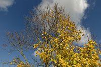 Ahornbaum im Herbst
