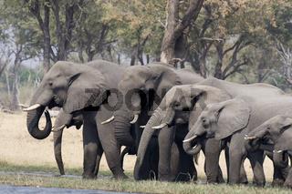 Afrikanische Elefanten, Botswana