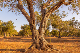 Olive tree in South Italy