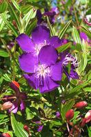 Close up of a purple wildflower, Western Australia