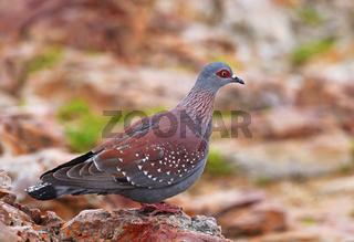 Guineataube, Strichelhalstaube, Südafrika, African rock pigeon, speckled pigeon, South Africa
