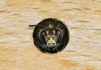 Portrait einer männlichen Pelzbiene (Anthophora plumipes)