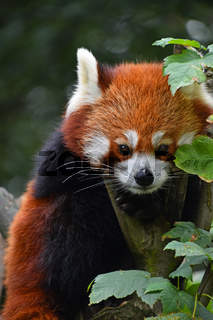 Close up portrait of red panda on tree
