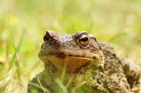 ugly portrait of european common brown toad standing in the grass ( Bufo