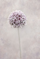 Beautiful allium flower