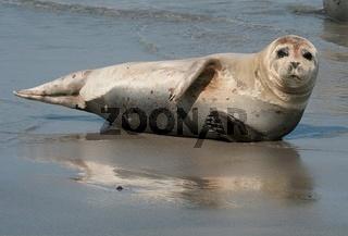 Seehund, Phoca vitulina, Harbour Seal, Sandseal