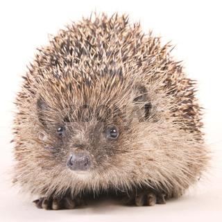 Igel (Erinaceus europaeus) - hedgehog (Erinaceus europaeus)