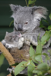 Koala Bär, Phascolartus cinereus, Mutter mit Jungem, Queensland, Australien