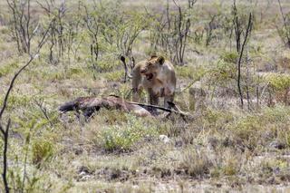 Löwe mit Antilope