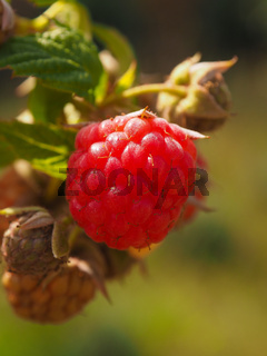 Marco shot of a raspberry