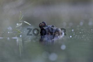 Nachwuchs auf dem Rücken.... Schwarzhalstaucher *Podiceps nigricollis*
