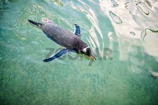 Small penguin swimming in water