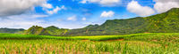 View of a sugarcane and mountains. Mauritius. Panorama