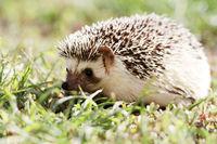 Hedgehog on green lawn in backyard