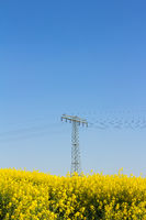 Yellow oilseed rape field with pylon in the background