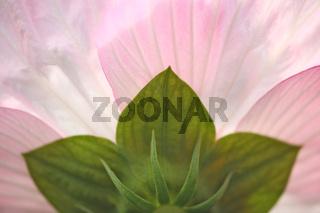 Hibiskus, rosa, Bluete, Hibiscus, Rose of Sharon, blossom