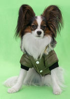 Beautiful young continental spaniel papillon in a winter jacket on green background