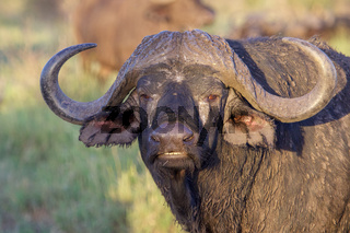 Portrait of a water buffalo in the Kruger National Park