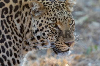 Portrait of A leopard Kruger National PArk