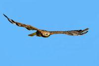 Steppenadler fliegend