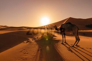 Camel eating grass at sunrise, Erg Chebbi, Morocco