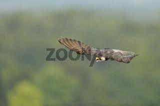 hoch über'm Wald... Wanderfalke *Falco peregrinus* im Flug hoch über der Landschaft