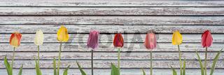 Bunte Tulpen vor Holzhintergrund mit abgeblätterter Farbe