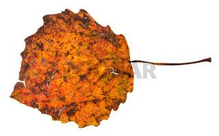broken autumn fallen leaf of aspen tree