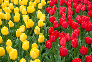 Colorful red and yellow tulips in spring.