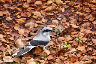 Great grey Shrike in search of food