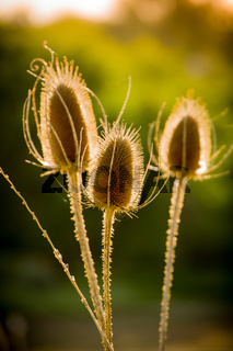 Dried Thistle In Sun