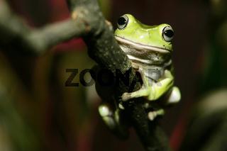 korallenfinger-laubfrosch, Litoria caerulea, Australian Green Tree Frog,  Dumpy Tree Frog, Green Tree Frog