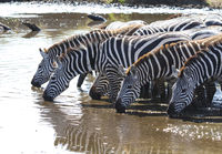 Group of Plains zebras at watering near the big river in the early evening