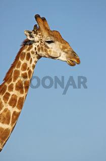 Giraffe im Chobe Nationalpark Botswana