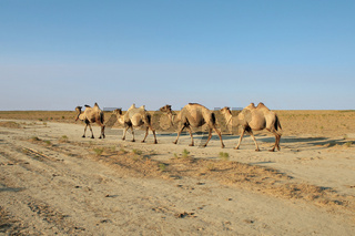 Camel caravan going through the steppe to grazing evening.