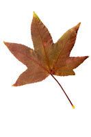 Autumn Maple  Leaf Cut Out