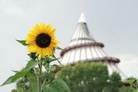 blühende Sonnenblume und Jahrtausendturm in Magdeburg