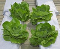 Lettuce Hydroponic Pillars