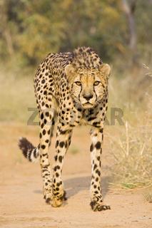 Gepard (Acinonyx jubatus), Namibia, Afrika, cheetah, Africa