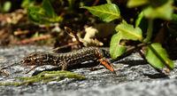 Mauereidechse; verzehrt ein Insekt;