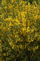 Gewöhnlicher Besenginster (Cytisus scoparius)
