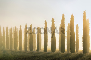 Tuscan cypress trees