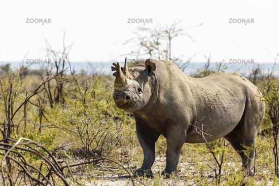 Breitmaulnashorn, white rhinoceros, Ceratotherium simum